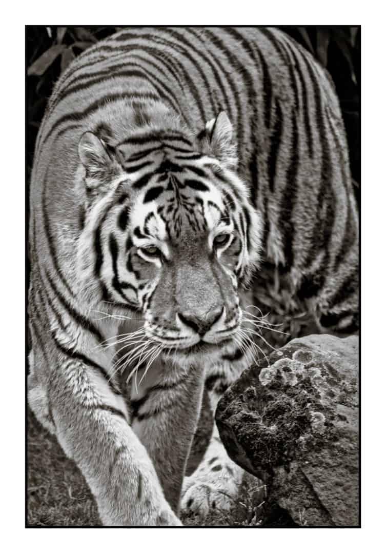Tiger (bearbeitet)